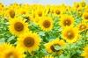 ひまわり畑が愛知県で見頃になるのはいつになる?